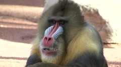 Mandrill Lone Winter Stock Footage