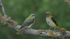 Bird Golden oriole feed chicks landed on a branch in the forest Stock Footage