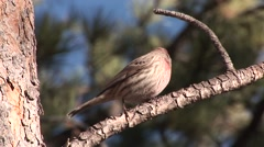 House Finch Male Lone Fall Stock Footage