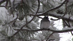 Junco Adult Resting Winter Snow Dark-eyed Slate-colored Stock Footage