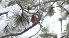 House Finch Male Adult Resting Winter Snow Stock Footage