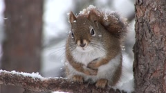 Red Squirrel Adult Resting Winter Snow Stock Footage