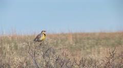 Meadowlark Adult Lone Breeding Spring Singing Call Stock Footage
