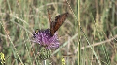 Regal Fritillary Feeding Summer Butterfly Nectar Thistle Stock Footage