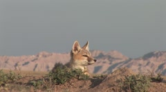 Swift Fox Young Lone Summer Ground Level Closeup Stock Footage