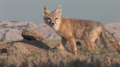 Swift Fox Young Lone Summer Stock Footage