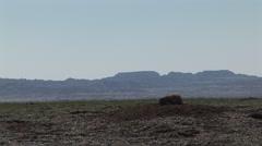 Black-tailed Prairie Dog Summer Standing Backlighting - stock footage