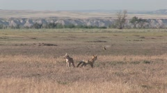 Swift Fox Pair Playing Summer Stock Footage
