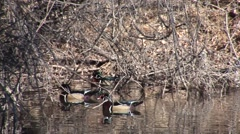 Wood Duck Drake Hen Several Spring Stock Footage
