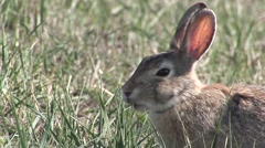 Cottontail Rabbit Lone Feeding Spring Grass Stock Footage
