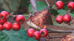 Autumn Hedgerow Red Berries Nature Background Stock Footage
