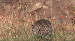Sharp-tailed Grouse Lone Feeding Summer Ground Level Closeup Stock Footage