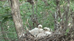 Cooper's Hawk Adult Chicks Family Feeding Spring Nest Chicks Stock Footage