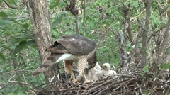 Cooper's Hawk Adult Chicks Family Feeding Spring Chicks Nest Stock Footage