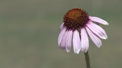 Purple Coneflower Flower Summer Stock Footage