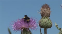 Thistle Summer Nectar - stock footage