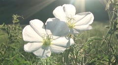Gumbo Primrose Flower Spring Dawn Zoom Out Stock Footage
