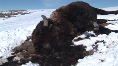 Bison Winter Carcass Snow Carrion - stock footage