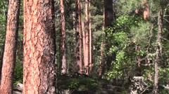 Forest Black Hills Summer Old Growth Mature Forest Stock Footage