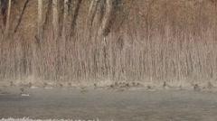 Mallard Flock Flying Winter Flushing Slow Motion Stock Footage