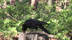Crow Lone Summer Stump - stock footage