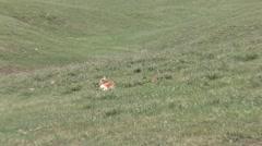 Pronghorn Antelope Spring - stock footage