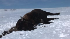 Bison Winter Carrion Snow - stock footage