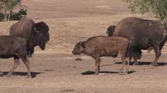 Bison Bull Cow Adult Calf Herd Breeding Summer Rut Stock Footage