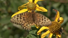 Stock Video Footage of Fritillary Feeding Summer Pollination