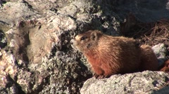 Yellow-bellied Marmot Lone Summer Stock Footage