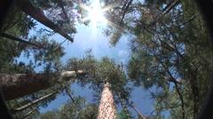 Ponderosa Pine Old Growth Sky Stock Footage