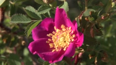 Rose Flower Summer - stock footage