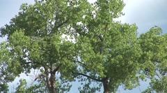 Cottonwood Summer - stock footage