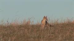 Swift Fox Lone Summer Stock Footage