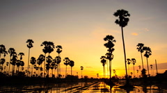 Sugar palm at sunset. HD Stock Footage