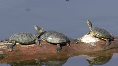 Red-eared Turtle Several Resting Winter Stock Footage