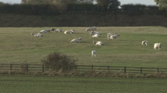White Park cattle rest in low autumn sun. Calf suckles. Stock Footage