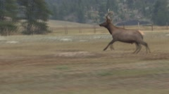Elk Bull Running Summer Stock Footage