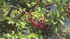 Chokecherry Fruit Summer Stock Footage
