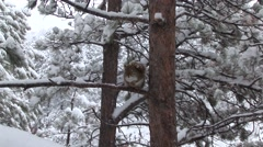 Red Squirrel Winter Snow Zoom In Stock Footage