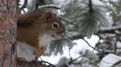 Red Squirrel Winter Snow Stock Footage