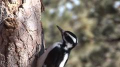 Downy Woodpecker Feeding Stock Footage
