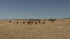 Land Use Western Region Herd Summer Range Livestock Ranching Cattle Stock Footage