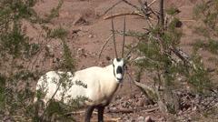 Arabian Oryx Winter Stock Footage