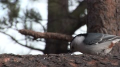 White-breasted Nuthatch Feeding Winter Stock Footage