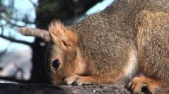 Fox Squirrel Feeding Stock Footage