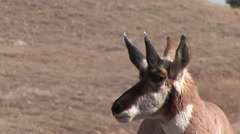 Pronghorn Antelope Buck Adult Winter Horn Shed - stock footage