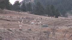 Pronghorn Antelope Buck Doe Adult Fawn Winter - stock footage