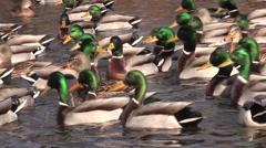 Mallard Drake Hen Flock Winter - stock footage