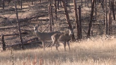 White-tailed Deer Doe Adult Fawn Fall Stock Footage
